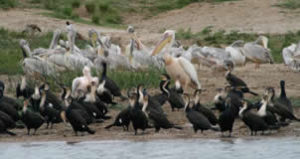 birding-kazinga channel