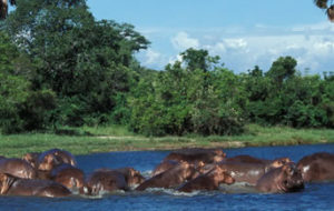 Hippos in the waters