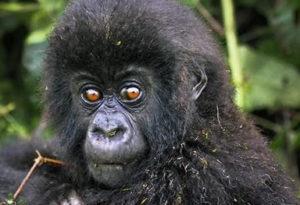 Juvenile-gorilla