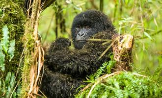gorilla tour rwanda